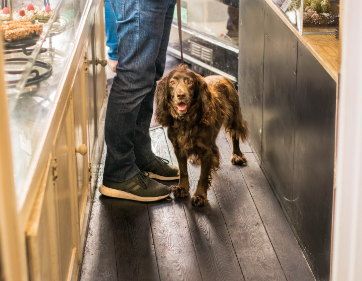 Spaniel at coffee shop