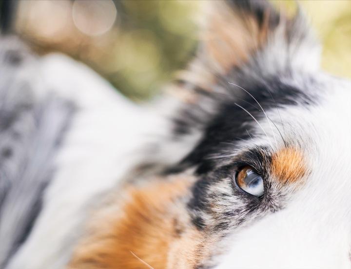 heterochromia on Australian Shepherd